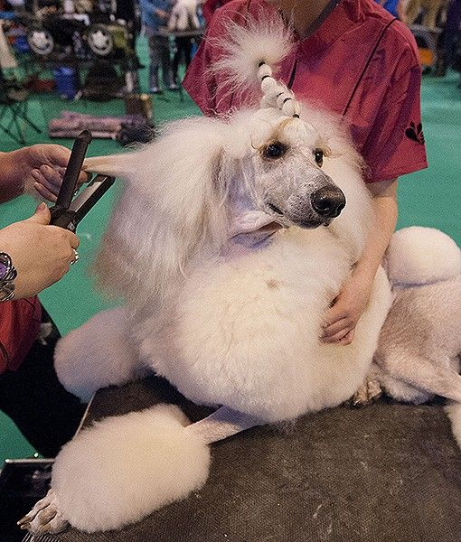 A Glam Standard Poodle Enjoys A Grooming Session During The Second