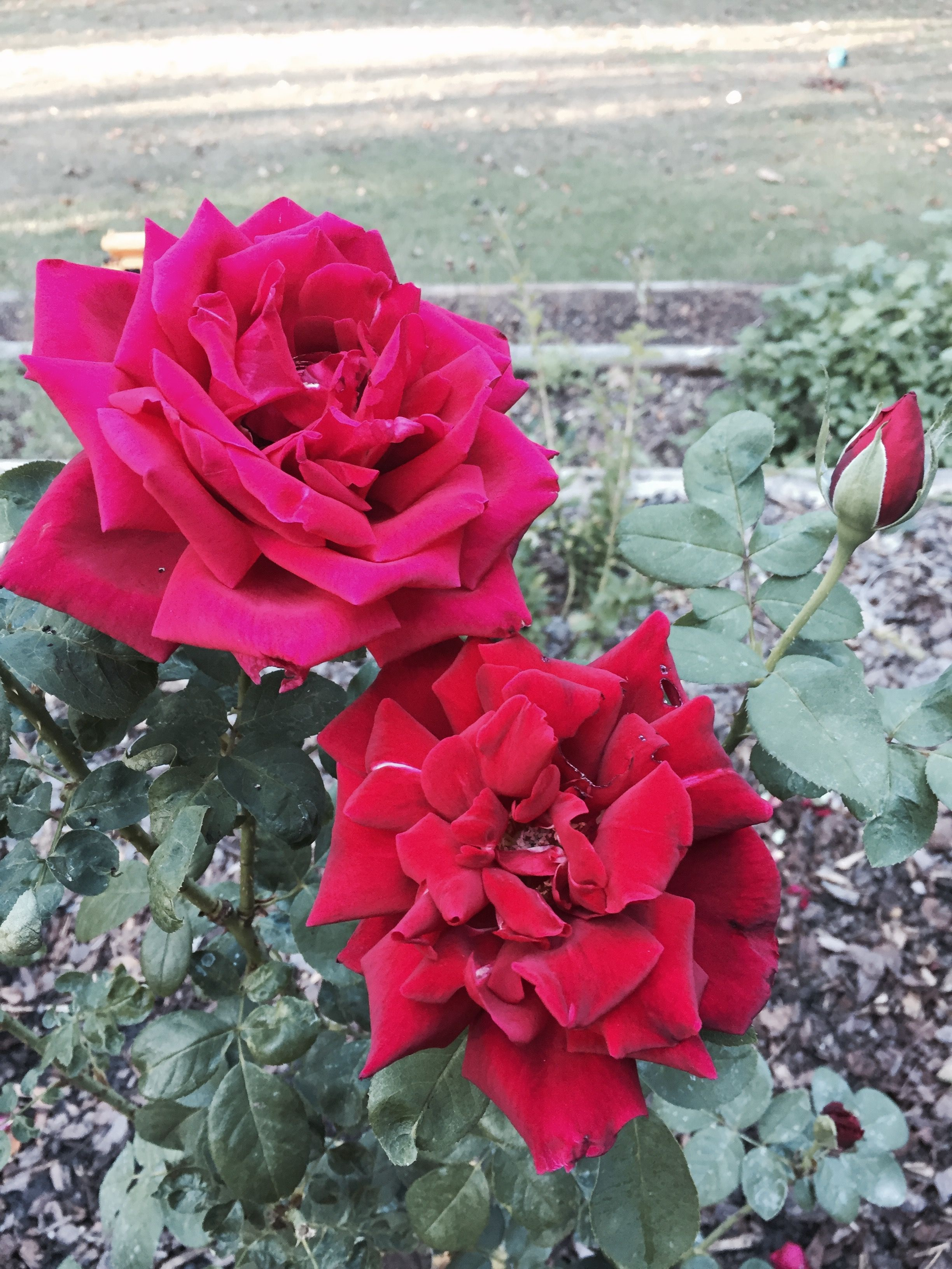 Chrysler Imperial Hybrid Tea Rose Stunning Red Color And