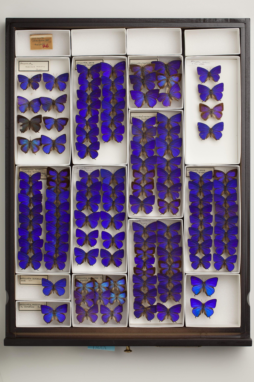Butterflies _ Carnegie museum of natural history.