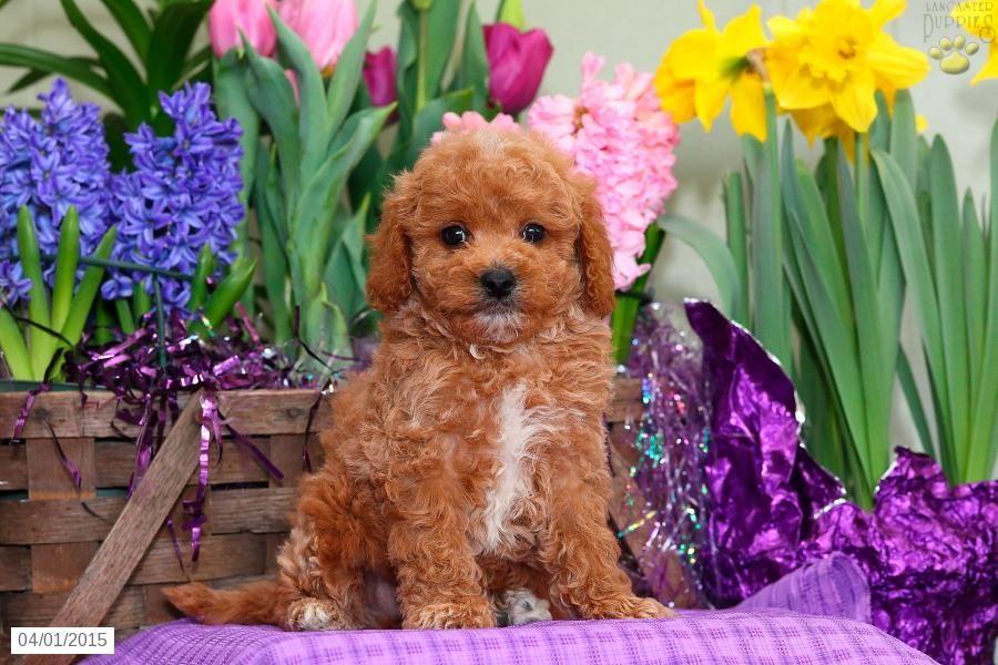Cavapoo Puppy for Sale in Pennsylvania Cavapoo puppies