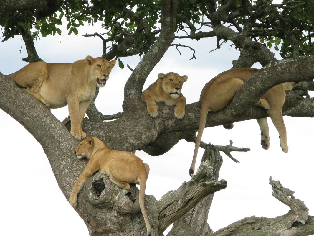 Lion on the tree in Serengeti National park