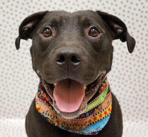 Dog Finder Adopt A Dog Or Cat Near You Pitbull Terrier Dog