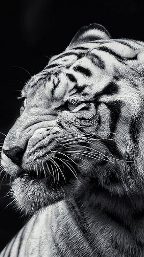 Tiger Face Eyes Black And White 72403 640x1136 Tiger Wallpaper Tiger Photography White Tiger