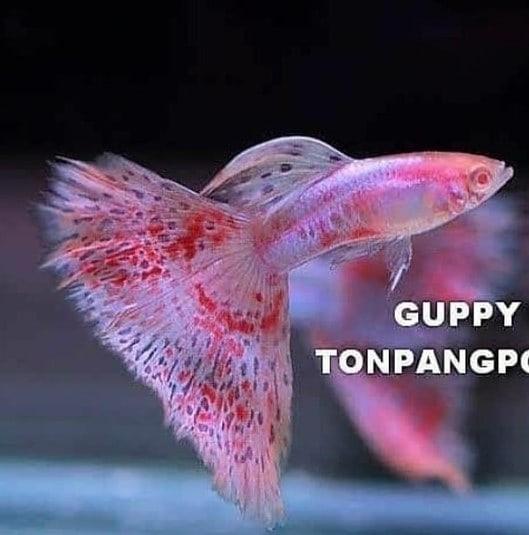 Galeri Guppy Indonesia On Instagram Pink Grass Platinum Albino Cakep Aja Atau Cakep Banget Nih In 2020 Tropical Fish Aquarium Guppy Tropical Freshwater Fish