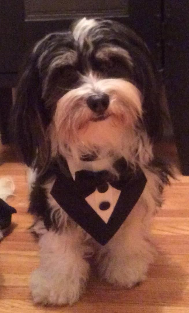Meet young male havanese, a real sweetie, a Petfinder