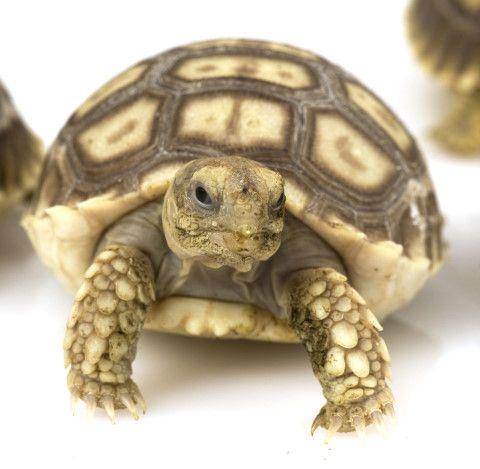 Baby Sulcata Tortoise Isn't he cute??? Tortoise care