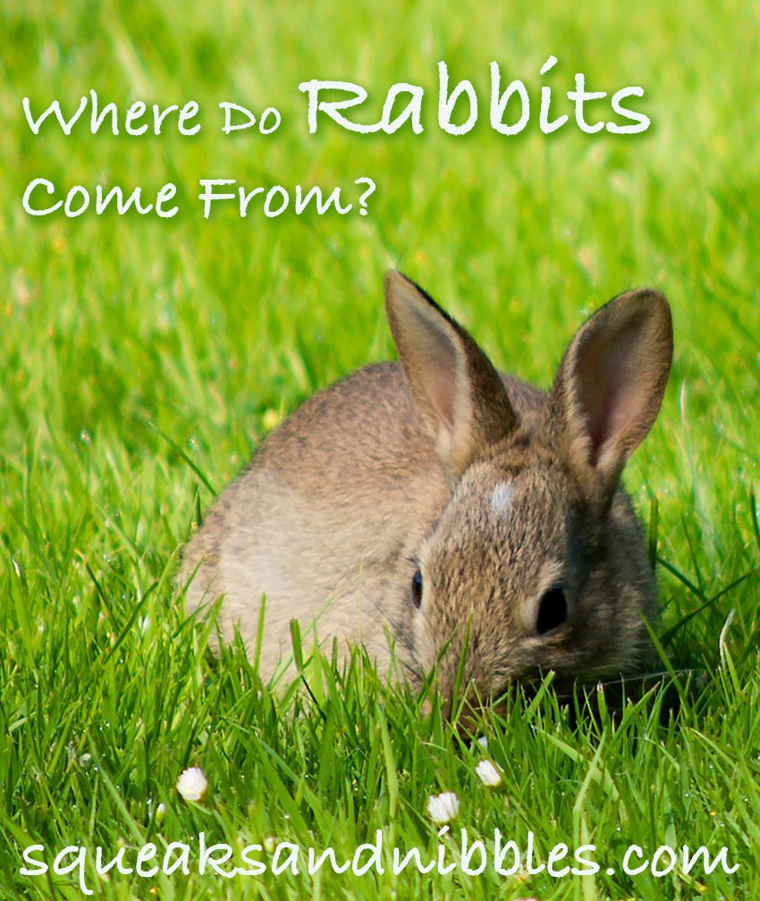 Where do rabbits come from? A guide to wild rabbits