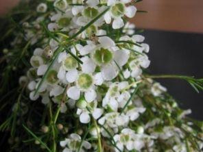 White waxflower 2 wedding flowers pinterest wax flowers white waxflower 2 mightylinksfo Choice Image