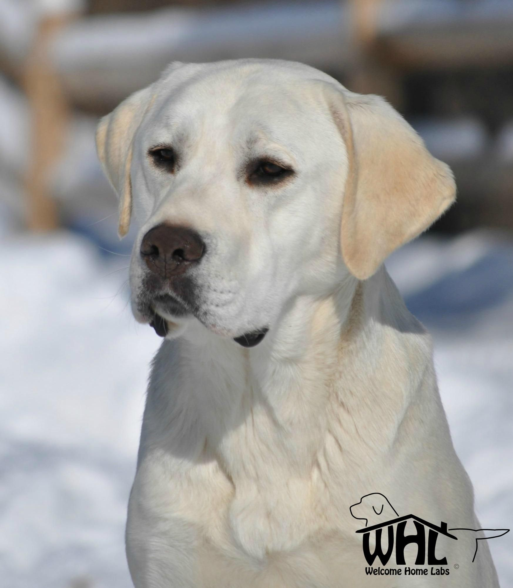 English Labradors Bing images