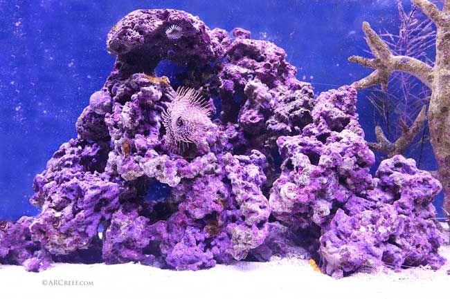 Coralline Algae The Ultimate Guide Arc Reef Aquarium Rocks Saltwater Aquarium Saltwater Fish Tanks