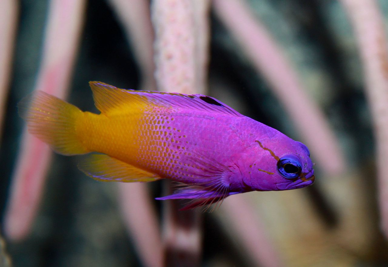 1280px Gramma Loreto Fairy Basslet Jpg Image Jpeg 1280 882 Pixels Marine Aquarium Fish Marine Fish Tanks Aquarium Fish