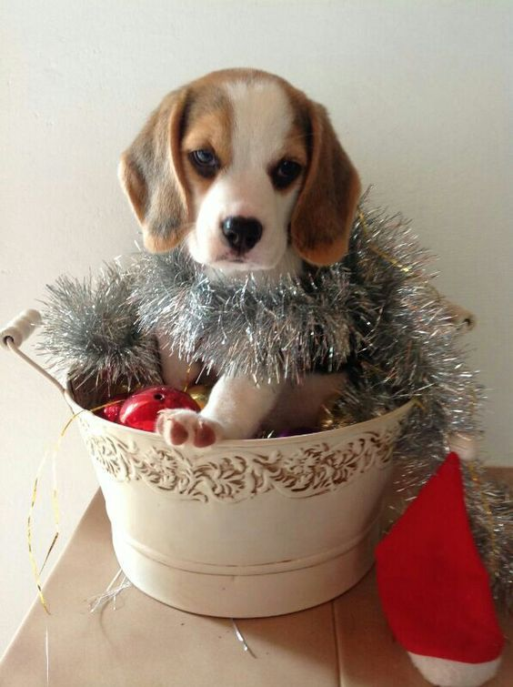 Amazing Beagle Chubby Adorable Dog - 7174d41bf8157ef7aa2fc6957609b691  Gallery_68622  .jpg