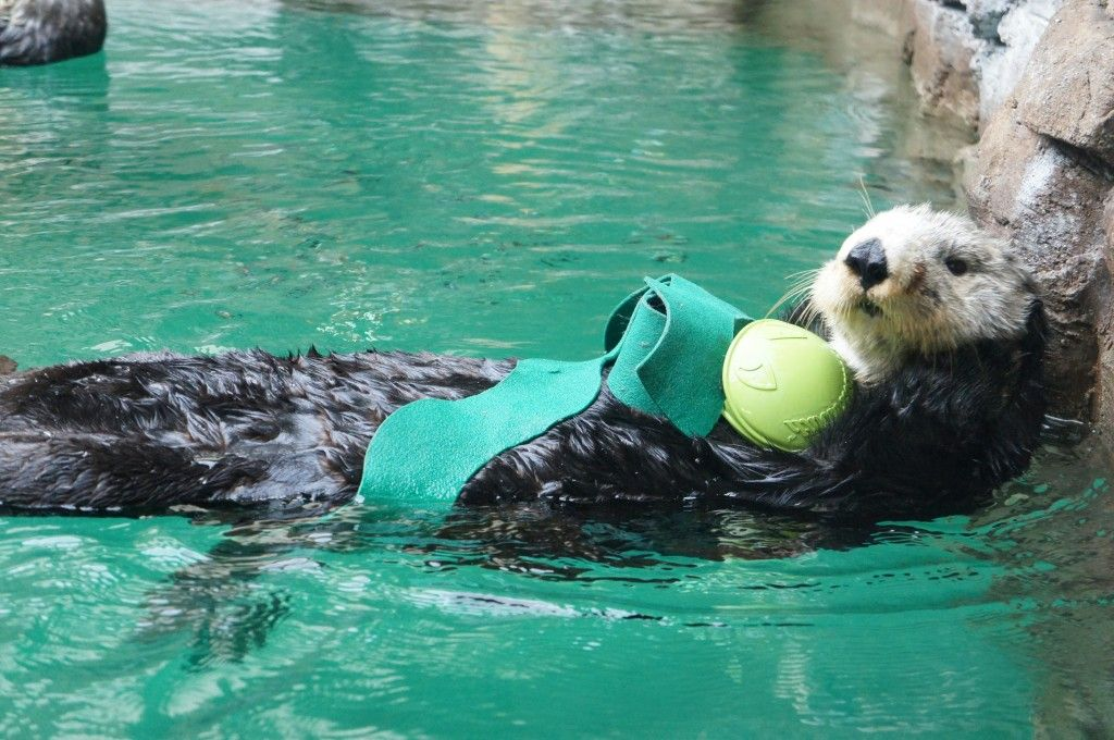 Lootas Sea Otter At The Seattle Aquarium Seattle Aquarium Sea Otter Woodland Park Zoo