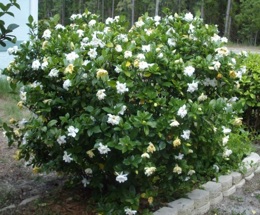 The Pretty Gardenia Outdoor Plants Gardenia Shrub Gardenia Plant Gardenia Trees