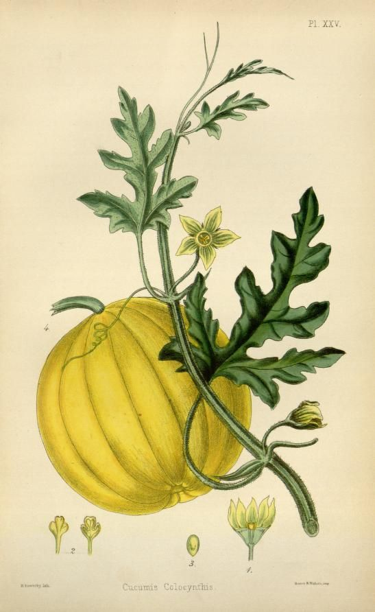The flora homoeopathica or, illustrations and descriptions of the medicinal plants used as homoeopathic remedies /by Edward Hamilton. (1852) -  Cucumis Colocynthis. (Colocynth, Bitter Cucumber, or Bitter Apple)