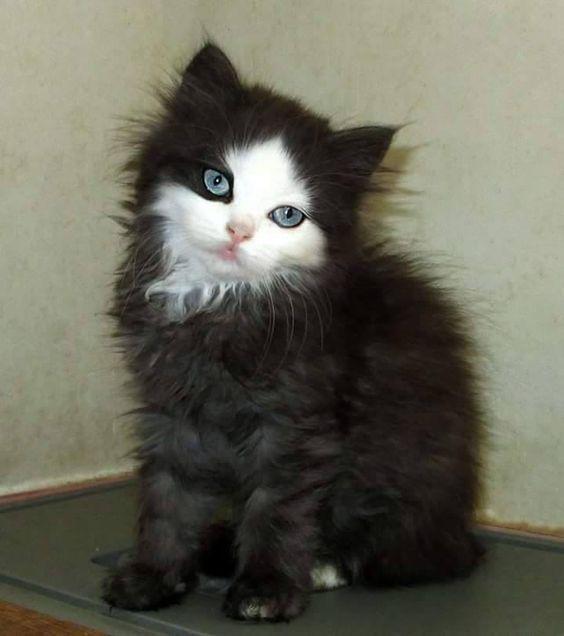 Baby Katze Schwarz Mit Weissem Gesicht Baby Katzen Katzen Susse Tiere