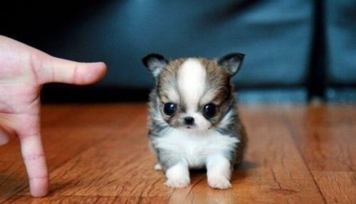 I have fallen for small dogs, whole heartedly. (more so when they look like baby ewoks) sdwrenn