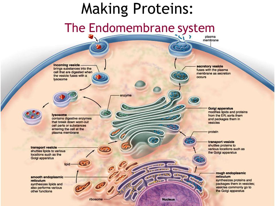 Image result for endomembrane system (With images