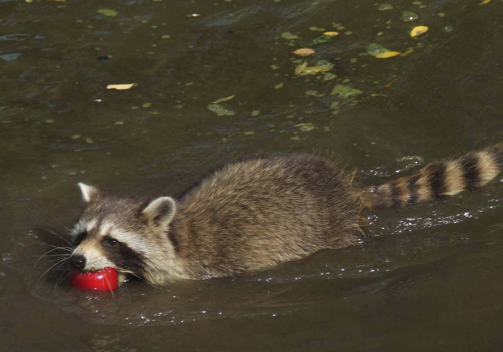 Image result for raccoon swimming