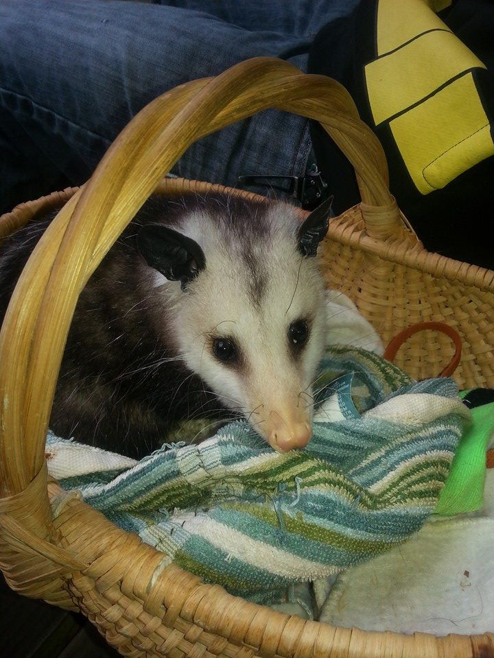 Getting A New Bed juvenile opossum getting comfortable in his new bed. | opossums