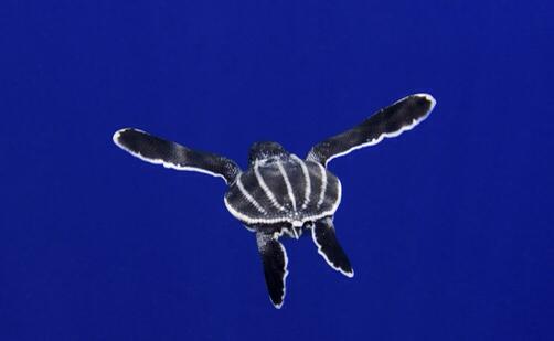About Leatherback Sea Leatherback Largest Sea Turtle Turtle Habitat