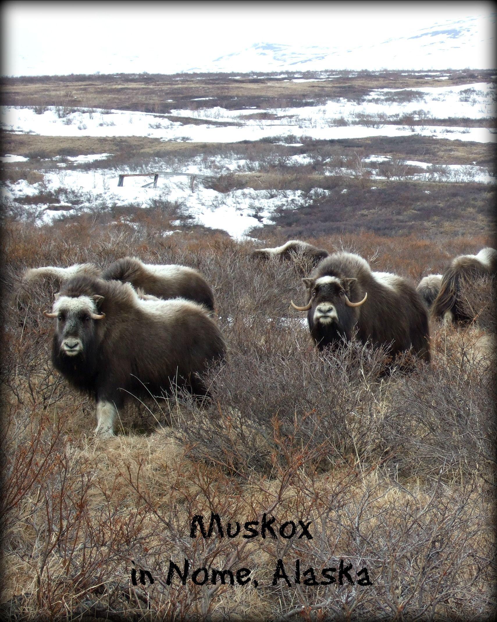 Muskox - Nome, Alaska