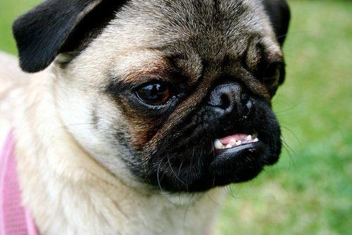 Omg Those Teeth Hahahaha Pugs Pugs Pugs More Pugs Snort