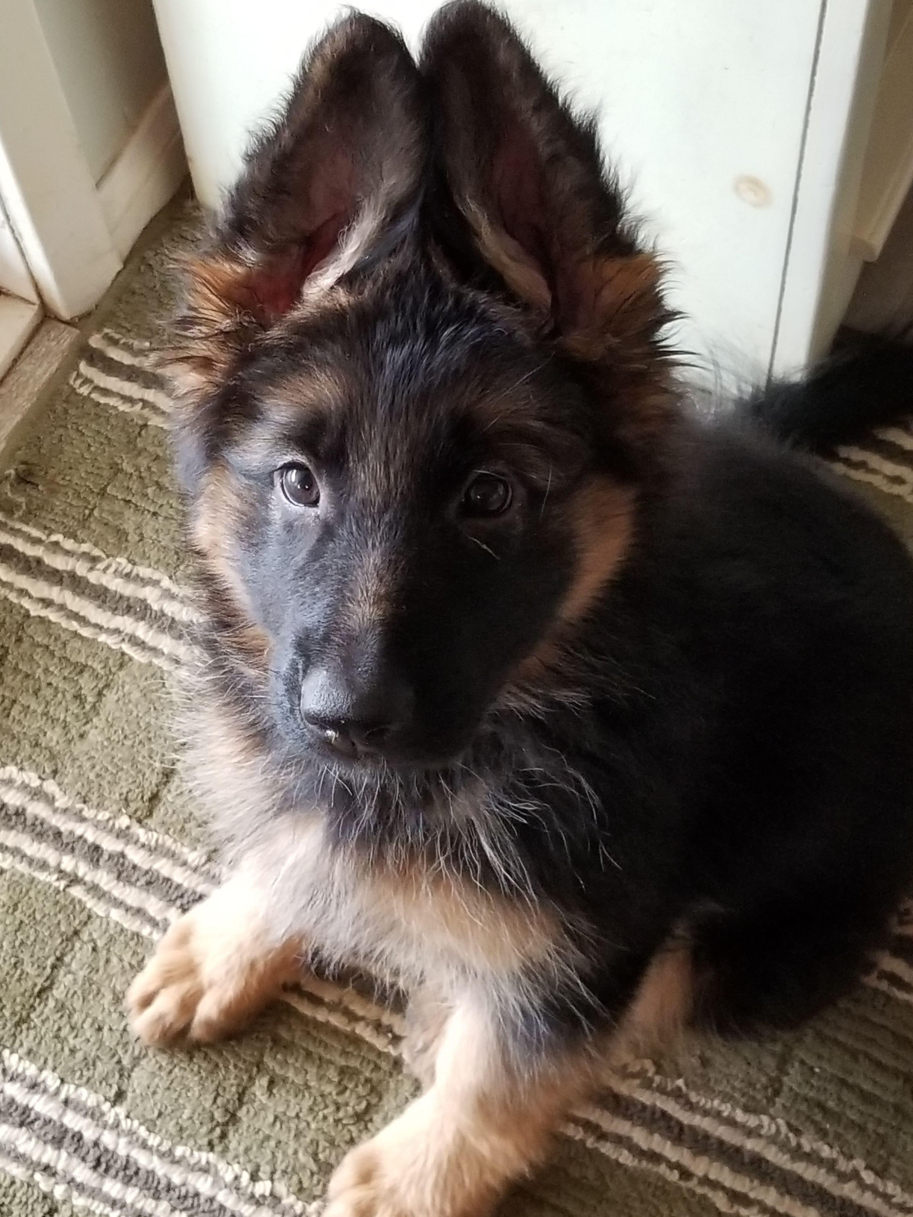 Schatzie 9 Weeks Cute Animals Animals Dogs