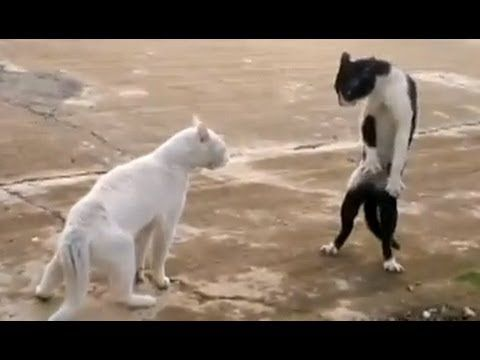 Funny Cats - Compilation http://omgthisissocute.com/funny-cats-compilation/ #Cat, #Cats, #CatsFunny, #CatsTalking, #CrazyCats, #FunnyCat, #FunnyCatVideos, #FunnyCats, #FunnyCatsVideo, #FunnyKittens, #TalkingCats, #VeryFunnyCats, #Vid