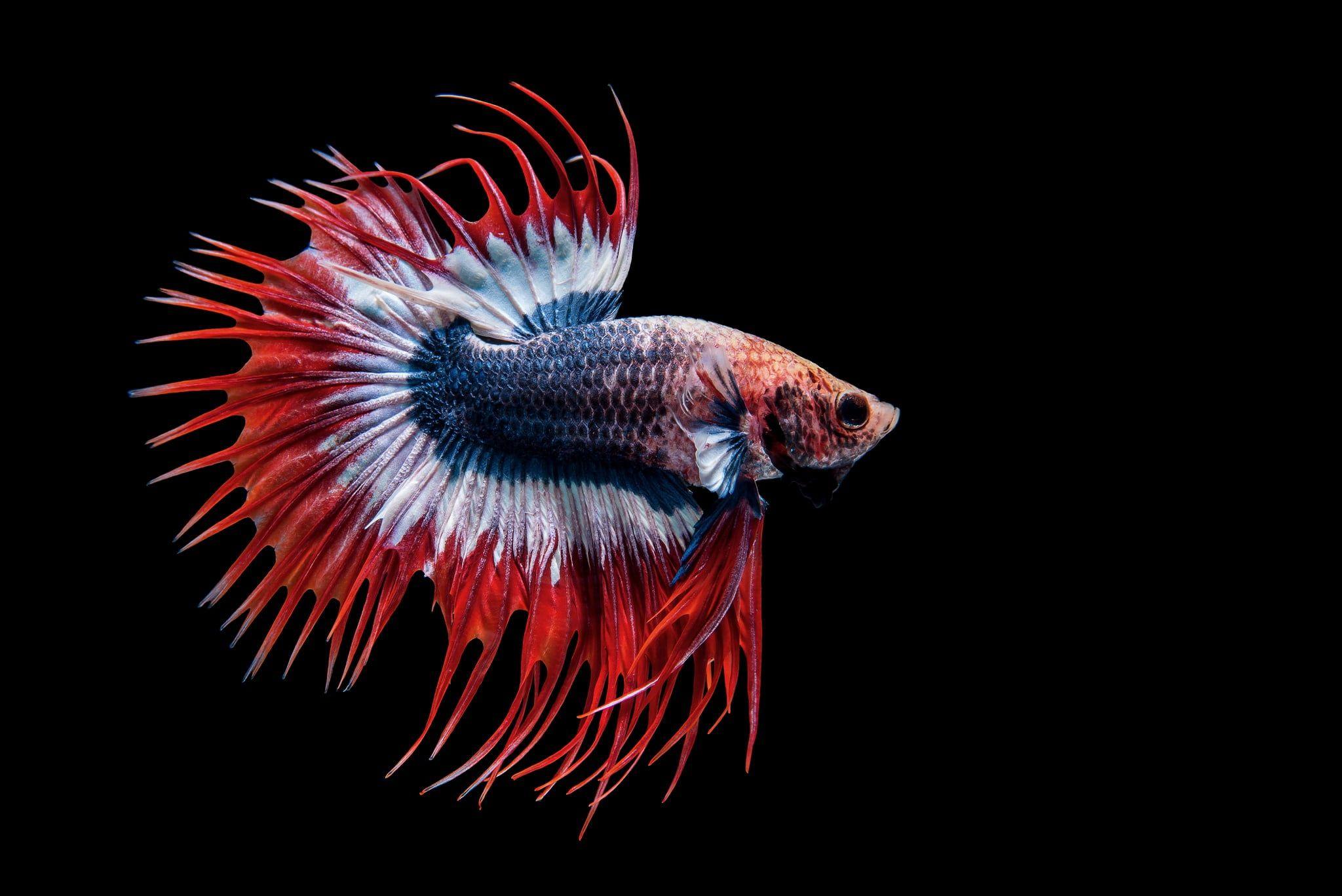 Animal Betta Fish 1080p Wallpaper Hdwallpaper Desktop In 2020 Fish Wallpaper Betta Beautiful Fish