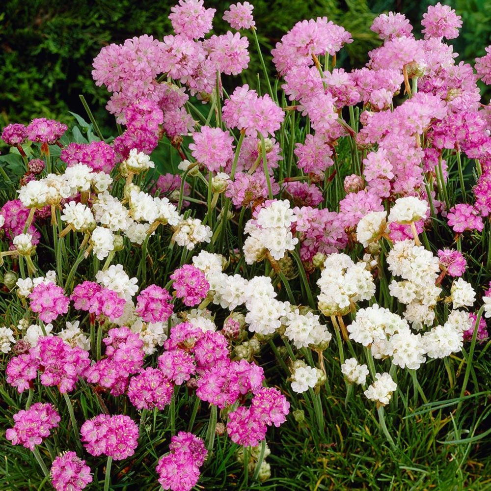 Armeria sea pink ground cover perennials 0 25cm by size armeria sea pink ground cover perennials 0 25cm by mightylinksfo