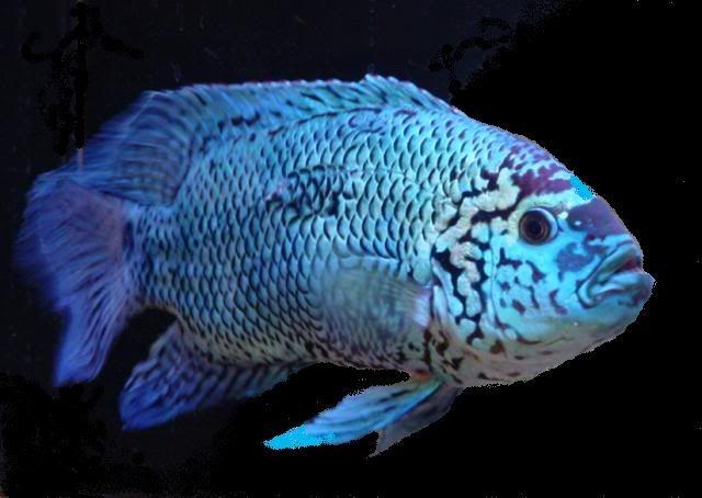 Electric Blue Jack Dempsey Oscar Fish Tropical Freshwater Fish Tropical Fish Aquarium