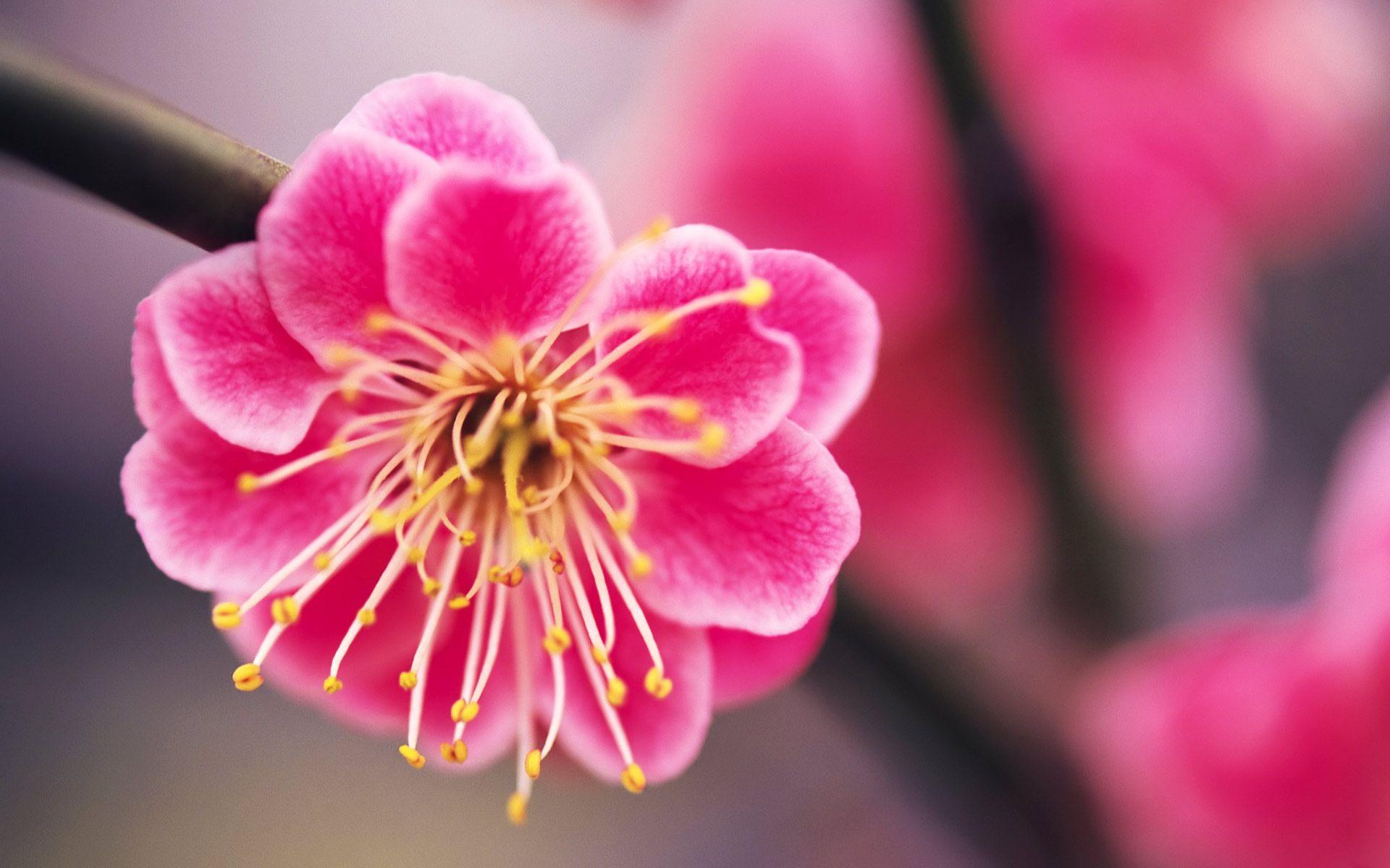 Pink Flowers Beautiful pink Flower Hd Wallpaper Desktop