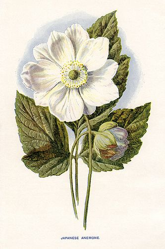 Japanese Anemone By Hulme Small Flower Illustration Botanical Painting Botanical Watercolor