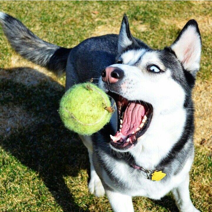 Siberian Husky Catching A Ball Really Cute Dogs Siberian Husky