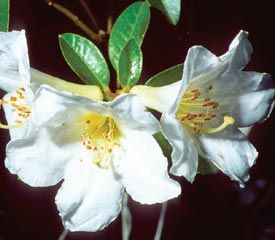 Rhododendron 'Fort Bragg Centennial'