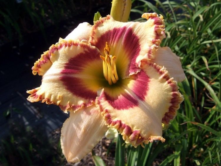 Photo of Daylily (Hemerocallis 'Tasmanian Tiger') uploaded by Calif_Sue