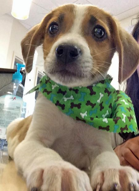 Today's Daily Puppy is Barkley, a Basset Hound/Jack ...