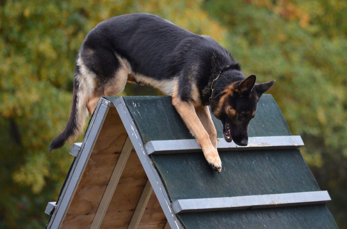 About Schutzhund Schutzhund Detection Dogs Schutzhund German