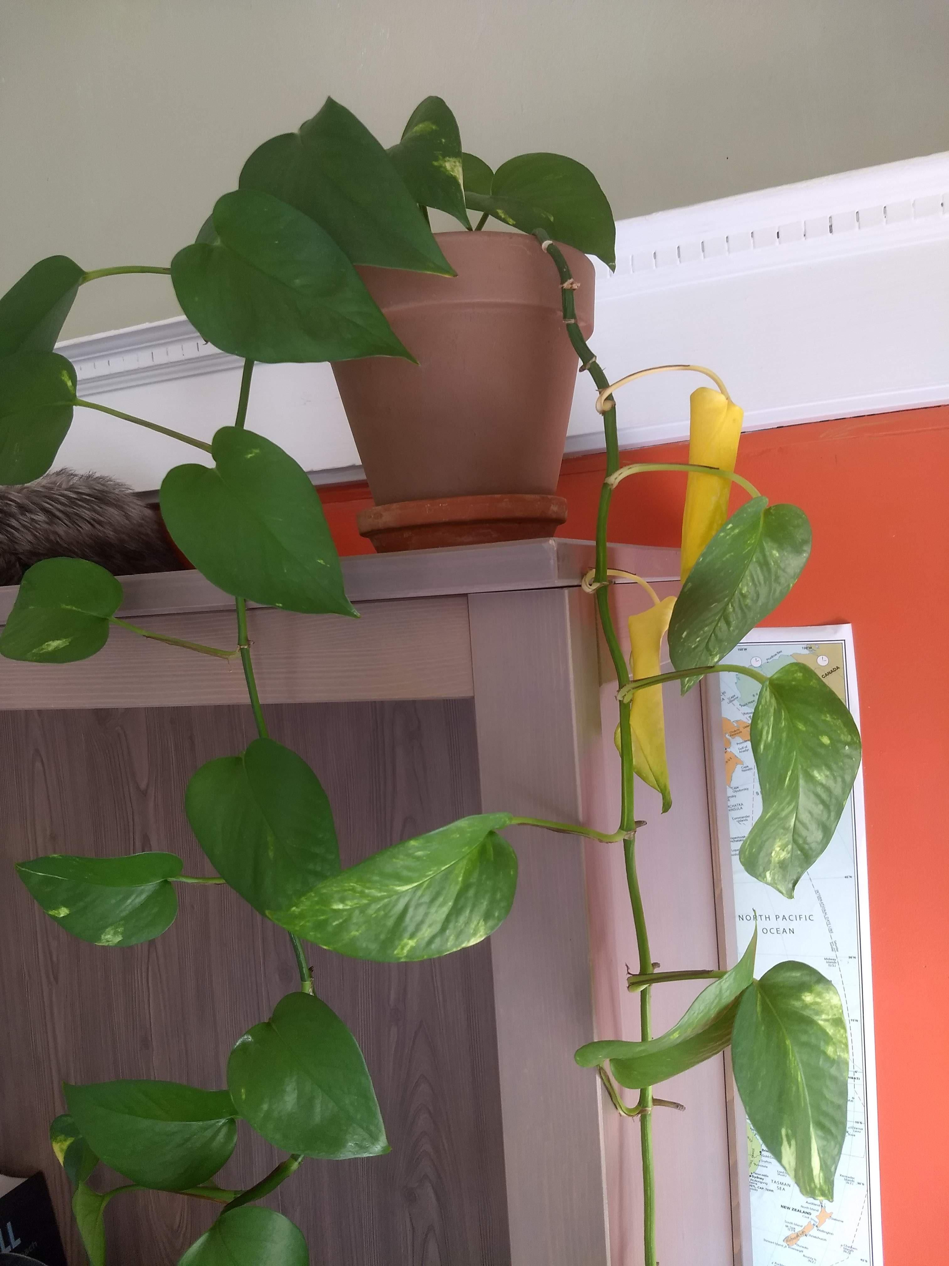 My Pothos Has One Stem Where The Leaves At The Base Are Turning Yellow But The Other Stems Are Fi Plant Leaves Turning Yellow Plant Leaves Turning Plant Leaves