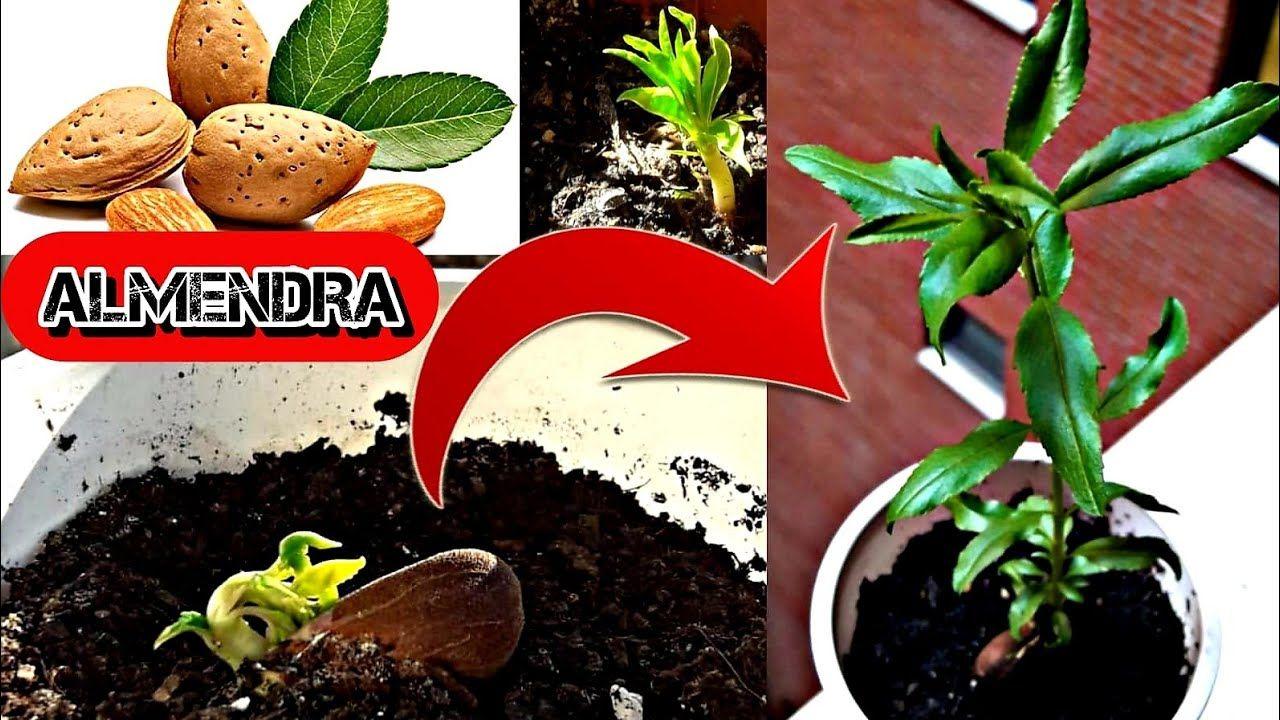 Como Germinar Almendras Con Exito Como Germinar Y Cultivar Almendra Almendro Desde Semilla Jardin De Productos Comestibles Germinados Cultivo De Plantas