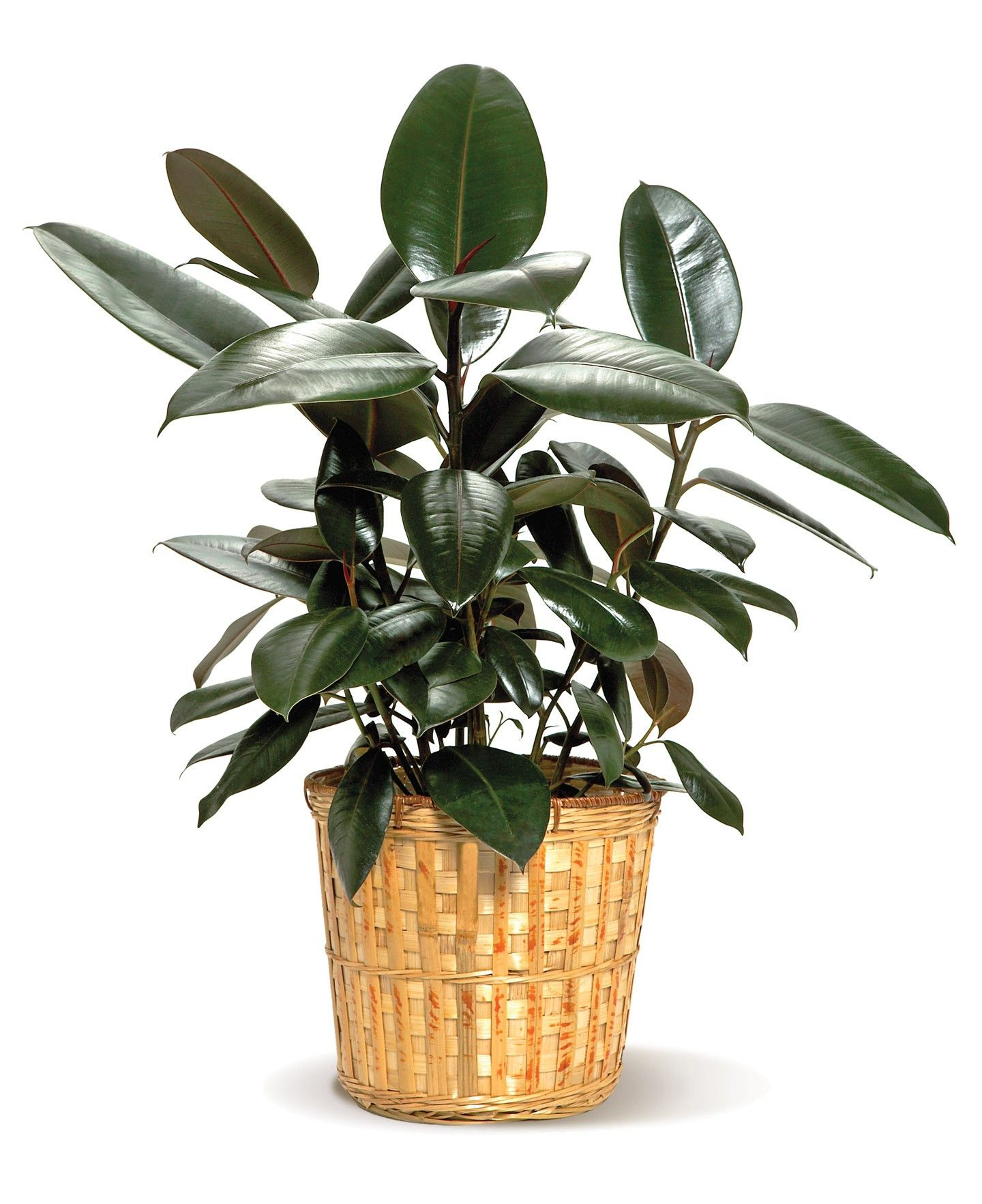 Rubber Plant Toxic To Cats