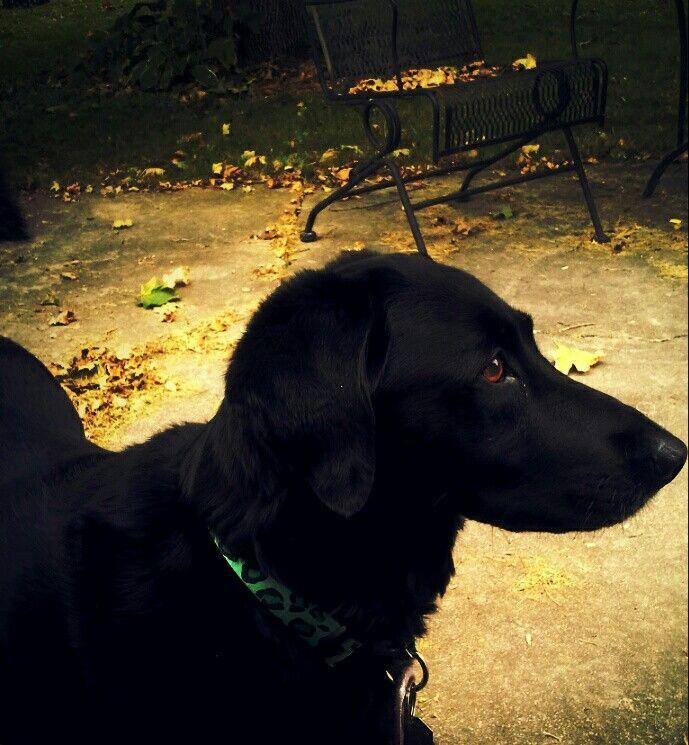 My Labrador Retriever/Cocker Spaniel rescue named Lily! ☺