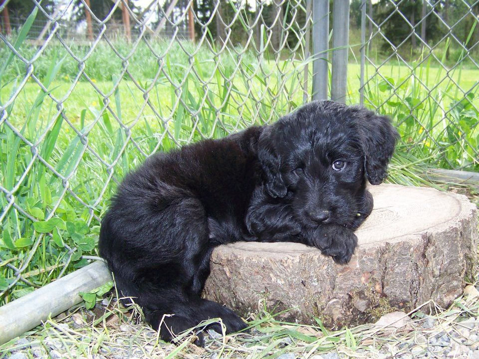 Our New Puppy Pattycakes She Is A Black Goldendoodle Born On St Patricks Day Hence The Name She Loves The C Goldendoodle Puppy Goldendoodle Cute Puppies