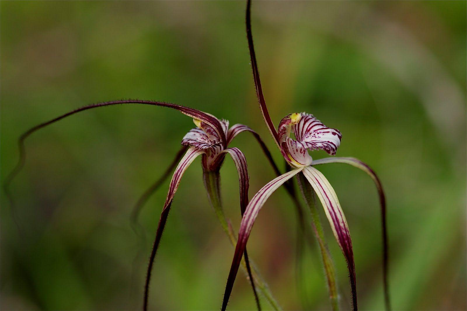 Spider Orchid | blant spider orchids og andre planter i australia