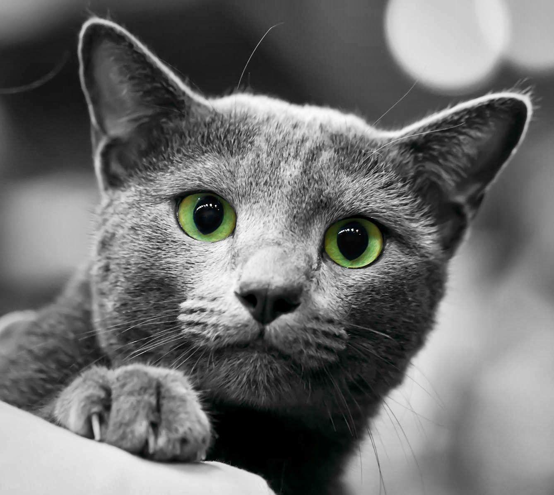 Russian Blue Cat Price Zwierzęta, Koty, Niebieski