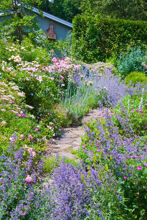 Catmint Nepeta Blue Wonder And Rosa The Fairy Roses With Flagstone Path Cottage Garden Plants Small Cottage Garden Ideas Cottage Garden