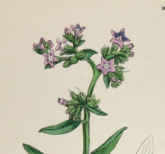 pictures of vintage herb gardens | Antique Botanical Flower Print Herb Vintage Old 1867 Pink ...