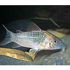 Cory catfish bottom feeders schooling hatchetfish for Bottom feeder aquarium fish