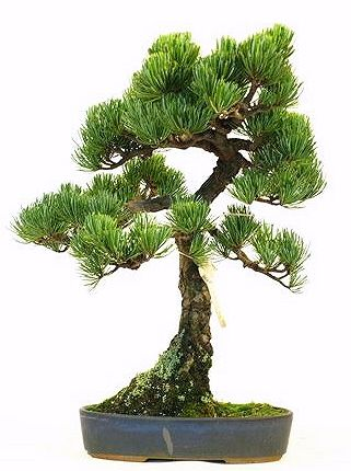 JPB:Bonsai Collection 13 |  五葉松文人3.